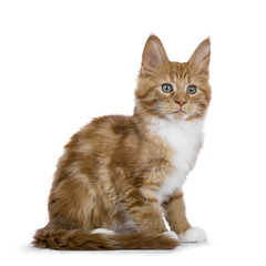 Red tabby Maine Coon cat / kitten sitting sideways tail next to him looking to the side isolated on white background