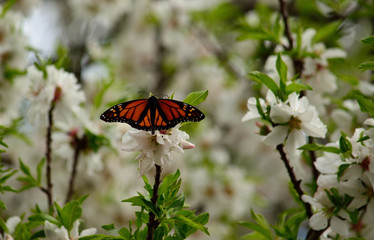Almond tree in full bloom and beautiful monarch butterfly