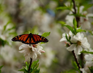 Isolated butterfly on flowers of almond tree, Danaus plexippus