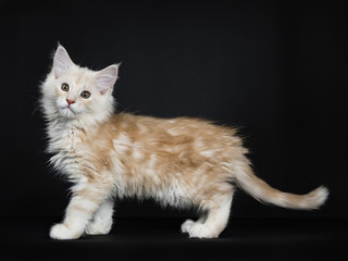 Creme Maine Coon cat / kitten walking to the left side of the picture isolated on black background.