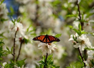 Beautiful butterfly on almond tree in full bloom, Danaus plexippus