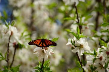 Almond tree in full bloom and beautiful butterfly, Danaus plexippus