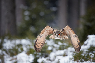 Eagle owl, Bubo bubo, huge owl flying directly at camera in snowfall against blurred snowy spruce forest. Isolated Eagle-owl with bright orange eyes flying in winter taiga forest. Owl in winter nature