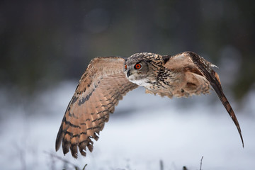 Eagle owl, Bubo bubo, biggest european owl flying next to camera with outstretched wings, against abstract snowy background. Eagle-owl with bright orange eyes in european forest. Czech highlands.