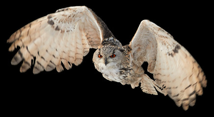 Isolated on black background, Eagle owl, Bubo bubo, biggest european owl flying    to camera with  outstretched wings. Eagle-owl isolated on black.