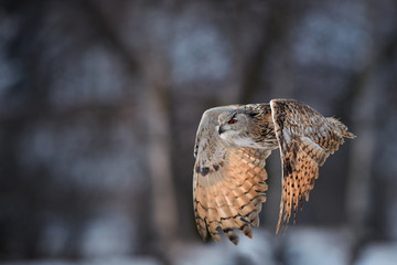 Eagle owl, Bubo bubo, huge owl flying against blurred snowy birches, backlighted by setting sun. Isolated Eagle-owl with bright orange eyes flying in winter taiga forest. Bird of prey in winter nature