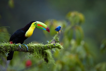 Keel-billed Toucan, Ramphastos sulfuratus,famous tropical bird with huge beak sitting on mossy branch in the tropical forest of Boca Tapada, Costa Rica. Wildlife photography in Central America.