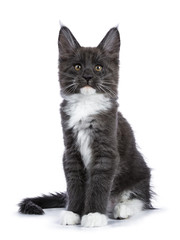 Blue and white Maine Coon cat / kitten sitting facing the camera tail around him looking straight in the camera isolated on white background.