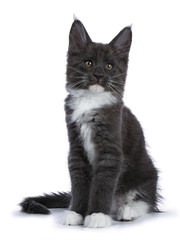 Blue and white Maine Coon cat / kitten sitting facing the camera looking to the side isolated on white background.