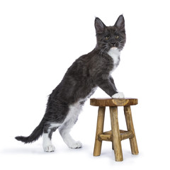 Blue and white Maine Coon cat / kitten standing with two paws on a wooden stool looking to the camera isolated on white background.