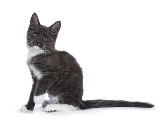 Blue and white Maine Coon cat / kitten sitting sideways one paw in the air looking to the camera isolated on white background.