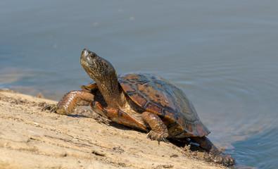 Turtle Sunbathing on the rocks