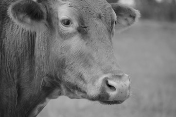Longhorn cow head on rural farm.  Black and white farm animal image for agriculture or cattle graphic.