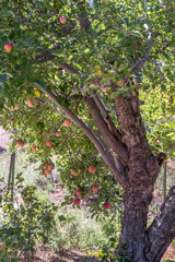 Classic apple tree, vertical format, natural organic ripe Red Heirloom Delicious organic apples on branches in a tree in autumn, healthy vegetarian snack, sweet fruit with nutrition and vitamins
