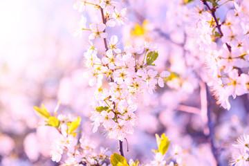 Beautiful nature scene sakura with blooming tree and sun flare. Springtime