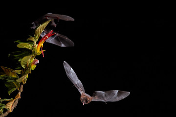 Isolated on black, Lonchophylla robusta, Orange nectar bat, nocturnal flying animal, feeding on nectar from tropical flower. Front view. Night flash photography. Wildlife photography in Costa Rica.