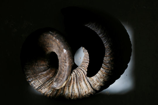 A ram's horn is seen in the workshop of Robert Weinger, a Jewish Shofar, ram's horn, maker in Rishon Lezion