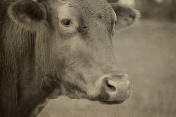Wall Mural - Farm cow portrait in sepia, shows head of animal with nature in background.