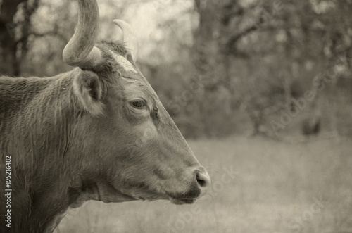 Wall mural Texas longhorn cow shows farm animal on farm for use in agriculture industry.