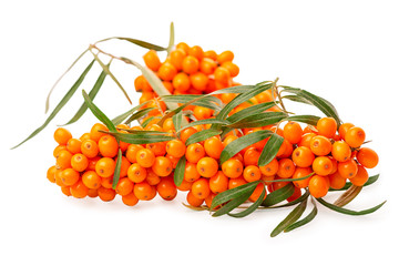 heap of abundance big branch sea buckthorn berries is isolated on white background