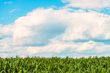 Green corn leaves at sunny summer day under a bright cloudy sky