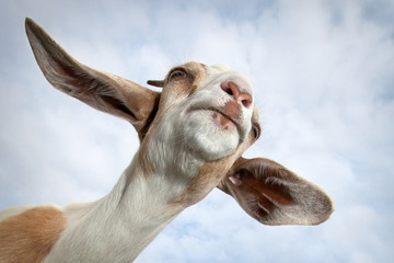 Goat portrait from the bottom