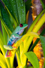 Red-eyed tree frog playing in the yellow light