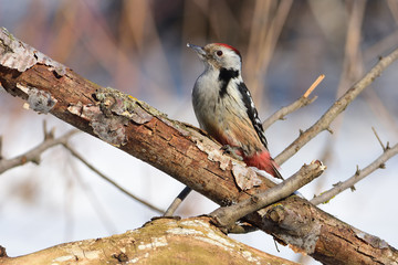 Middle spotted woodpecker sits on a thick branch with a flaky bark (sun reflect in eye).