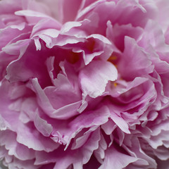 Close up of peony blossom