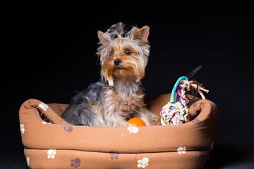Miniature dog breed Yorkshire Terrier with an elastic band on his hair sits in his stove, on a black background