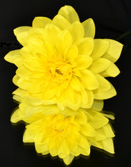 Yellow Dahlia Reflected in Mirror