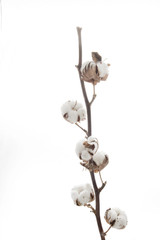 the Branch with cotton isolated on white background