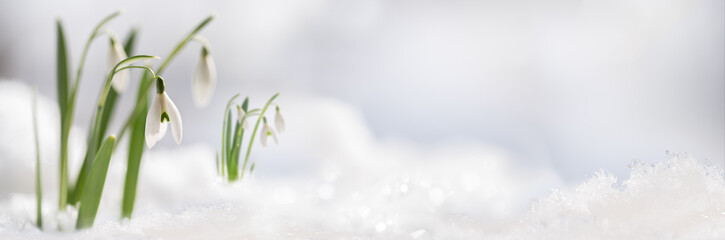 Snowdrop flowers (Galanthus nivalis) growing out of the snow, panoramic banner format with large copy space on the right Wall mural