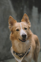 Portrait of a Cute Yellow Dog
