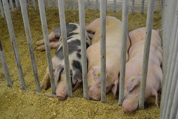 Pigs in a Poke
