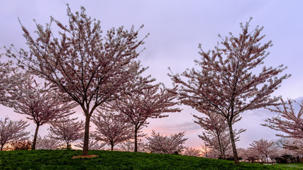 young cherry trees on a green hill in the park against a background of pink sky