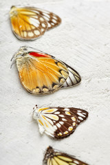 Exotic Butterfly Specimen