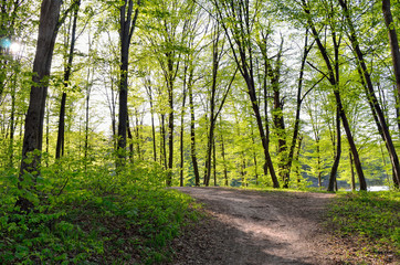 A path among the tall green trees in the forest