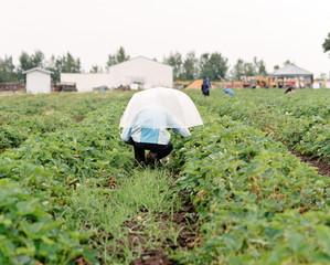 Picking strawberries in the rain in Oregon