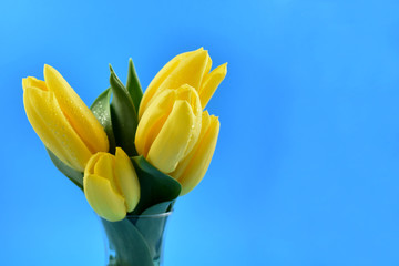 Yellow tulips stock images. Yellow tulips on blue background. Spring floral decoration. Spring background concept