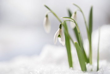 Snowdrops (Galanthus nivalis) grow out of the snow, the first flowers when spring is coming, macro shot with copy space in the snowy background