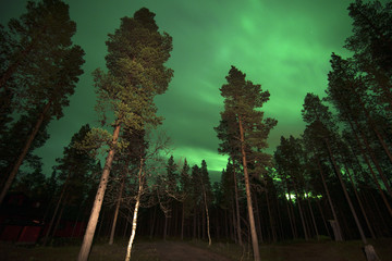 Northern lights in a forest