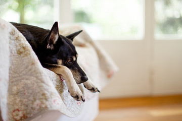 Close-up of sleepy dog enjoying an armchair as her kennel at home