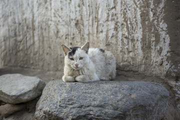 Dirty little cat up in the himalayas.