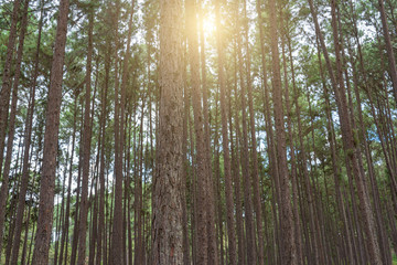 Pine forest, sunny early in the morning, sun rays