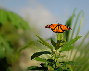 Monarch Butterfly on Green Plant