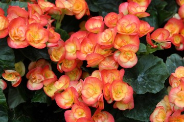 ORANGE RIEGER BEGONIAS