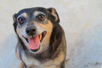 Cachorro Feliz Vira-lata (sem raça definida) Alegre adoção