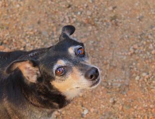 Cão vira-lata (sem raça definida) olhos castanhos