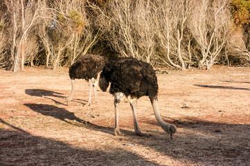 ostrich bird animal